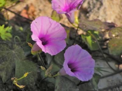 Beautiful_purple_flowers_in_puerto_