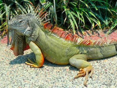 Green_iguana_desktop_wallpaper_smal